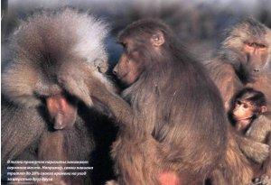 Почему человек стал голой обезьяной?