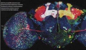 Ученые раскрасили мозг дрозофилы